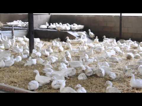 Watercress Lane Duck Eggs update 1