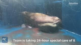 Hello, world! China's 1st captive-bred walrus born