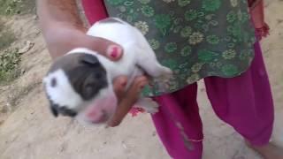 Desi Dog Child Puppy AMAZING See Today Birth Video Bhojpuri Bihar DOG BIRTH