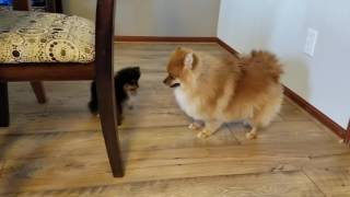 Pomeranian Not Sure What to do with Baby Pomeranian