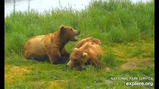 Walker and Amelia snugglefest on River Watch cam. Katmai Brown Bears. 08.00 / 28 June 2018