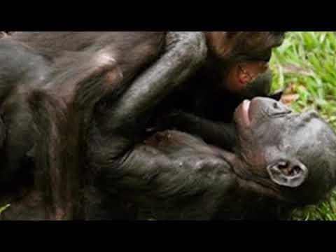 Xxx Mp4 Angalia Jinsi Sokwe Za Boni Forest Hufanya Mapenzi 3gp Sex