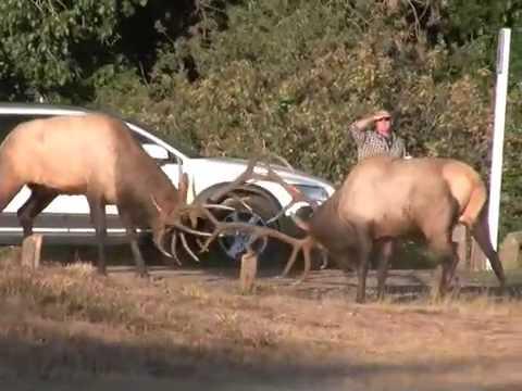 Elk Rut in Estes Park CRAZY & WILD