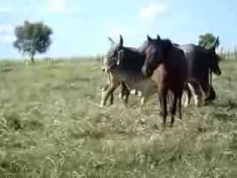 Touro come cavalo Animal2013