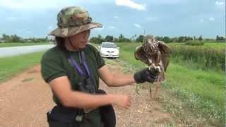 Saker Falcon Keep fit