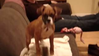 Bella the boxer shaking and wiggling