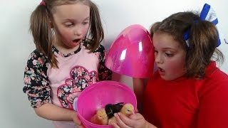 Surprise Eggs Baby Chicks