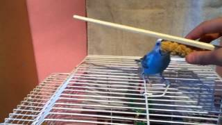 How to Teach Your Budgie to do the Target Trick