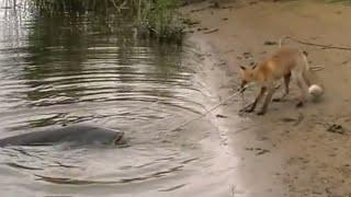 CATFISH VS FOX: WHAT DOES THE FOX SAY ? by CATFISHING WORLD