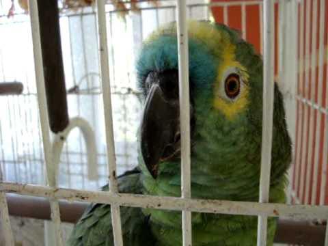 Papagaio boca suja