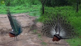 A beautiful Sri Lankan Peacock dancing