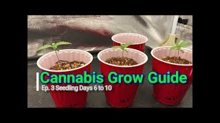 Cannabis Grow Guide Ep. 3 How to Grow Series:  Medical Marijuana Seedlings Days 6 to 10