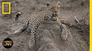 Safari Live - Day 59 | National Geographic