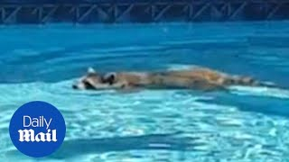 Cute moment raccoon goes for a dip in the United States - Daily Mail