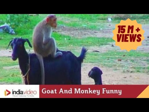 Goat And Monkey Funny Video India Video