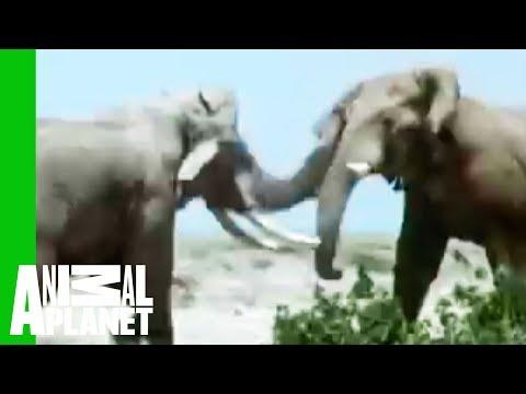 Animal Face Off Elephant vs. Rhino