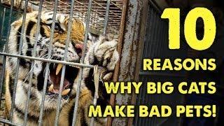 10 Reasons Why BIG CATS Make BAD PETS!
