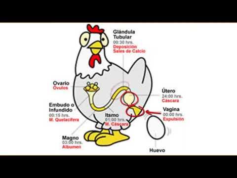 Aparato reproductor de la Gallina & Formacion del Huevo