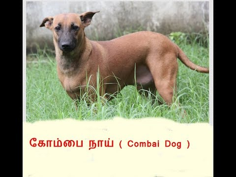 Combai Dog or Kombai dog (கோம்பை நாய் )- Pride  of Tamilnadu