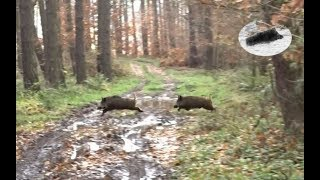 Wild boar hunting on driven hunt - amazing drive