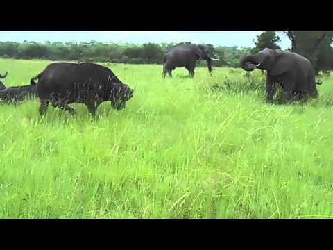 Elephant kicks a buffalo in the head