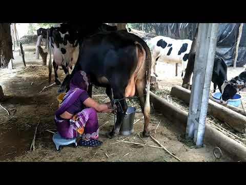 Xxx Mp4 Indian Village Woman How To Get Cow Making Process Fresh Milk Best Video 3gp Sex