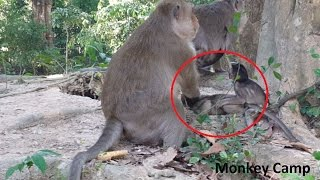 Babies monkeys cry, Why big monkey do like this?Real life of baby monkey in Angkor, Monkey Camp