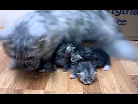 曼基貓� � 貝貝 與四隻貓BB