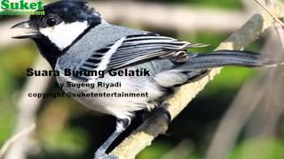 Suara Burung Gelatik Wingko