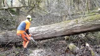 Big poplar harvest with STIHL
