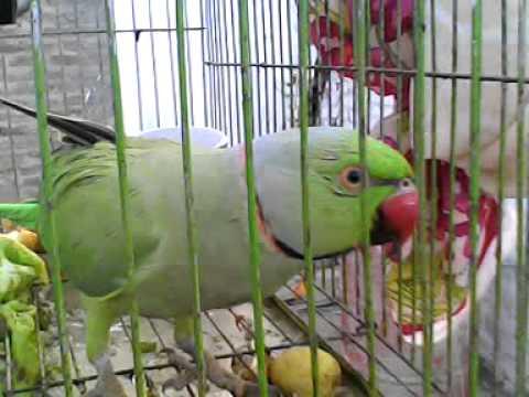 Xxx Mp4 Sindhi Talking Parrot 3GP 3gp Sex