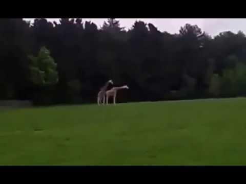 Xxx Mp4 Giraffe Mating Fail Funny Animal Videos Mp4 3gp Sex