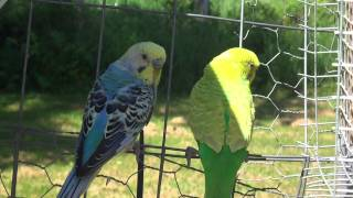 Budgies/Parakeets Outside(Bo And Kami)(Волнистых попугаев)