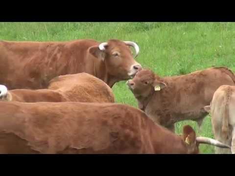 Limousin Rinder im Odenwald