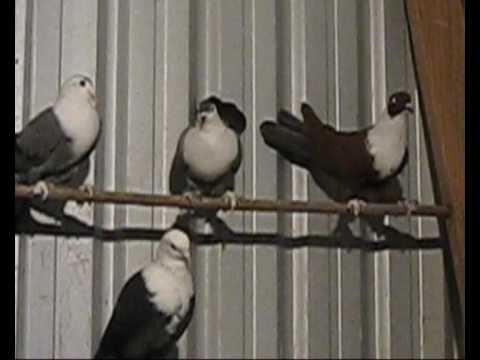 iraqi pigeons original for sale australia melbourne