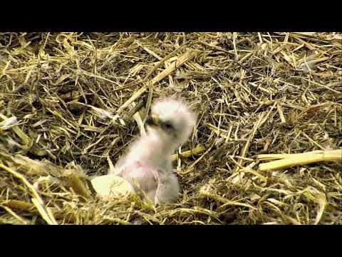 DECORAH EAGLES 🐥 IS THIS THE MOST ADORABLE EAGLET EVER ◕ JUST HOURS OLD ◕ NORTH NEST