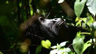 Habituating Silverback Gorillas: No Easy Feat