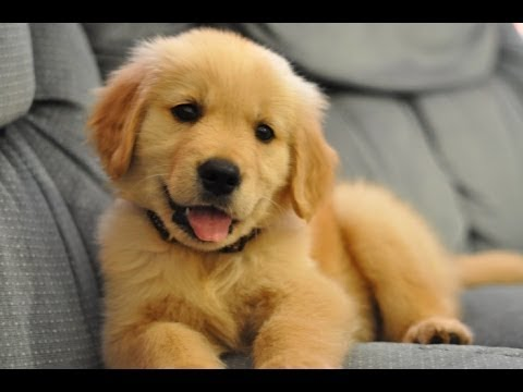 Xxx Mp4 Funniest And Cutest Golden Retriever Videos 2017 Funny Dogs Compilation 3gp Sex