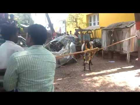 Xxx Mp4 Erudhu Vidim Vizha Mattu Pongal Special Videos 3gp Sex