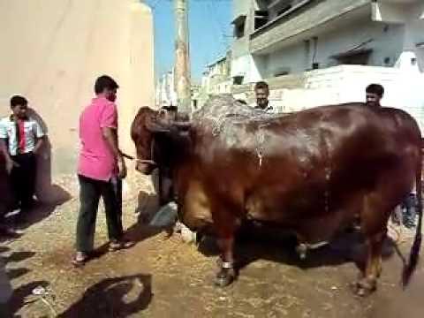 Qurbani in landhi 2011 Prince of Karachi taking bath
