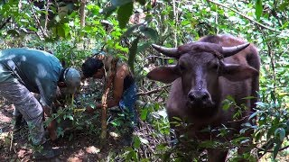 A bull trapped on a wire trap saved by kind wildlife officers