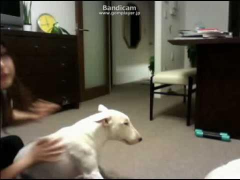 dog bites japanese girl    bull terrier VS girl