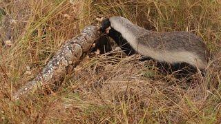Snake Killers: Honey Badgers of The Kalahari [Nature Documentary]