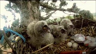 Gradske Ptice - Sova Utina (Mala Ušara)