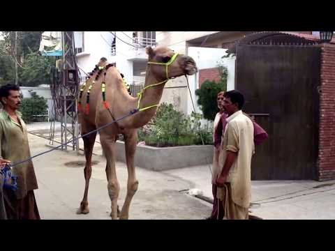 Camel Qurbani Nahar on Eid ul Azha 2013 HD