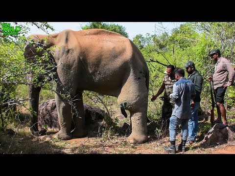 Xxx Mp4 Humble Elephant With A Tumor In His Leg Gets Treated By A Minister In Charge Of Wildlife 3gp Sex