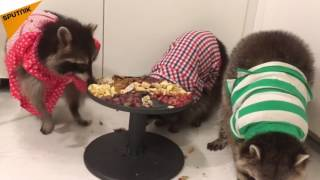 Adorable Domesticated Raccoons