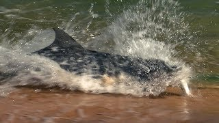 Dolphins Fishing On Land   BBC Earth