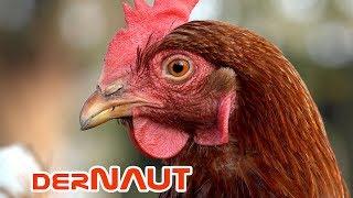 Ein schönes Huhn - Pretty Chicken 4K (Free 4K Footage)