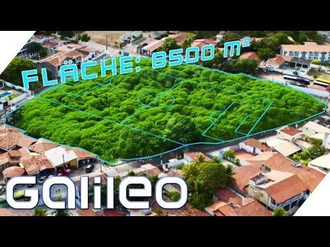 Dieser Park besteht aus nur einem Baum | Galileo | ProSieben